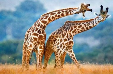 Giraffes Can't Dance [Video]